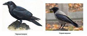 Vrána a havran jsou charakteristické rysy