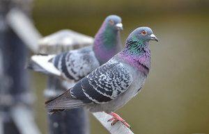 Kolik let holubi žijí v různých podmínkách