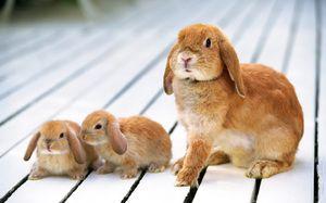 Těhotné králík