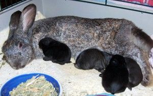 Lactating králík