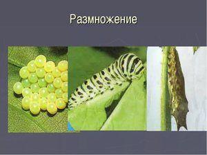 Reprodukce motýla