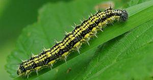Úlní Caterpillar