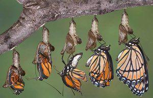Vývoj motýla z chrysalis