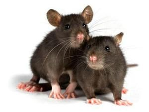 Kolik žije doma krysy a za jakých podmínek?