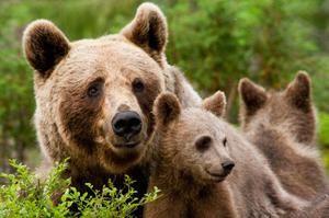 Medvědi v přírodě - způsob života