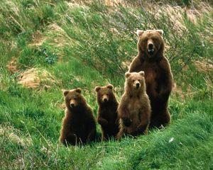 Hnědý medvěd - reprodukce a způsob života