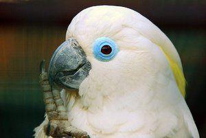 Jak dlouho žije kakadu?