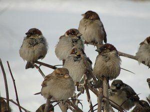 Kolik vrabců žije