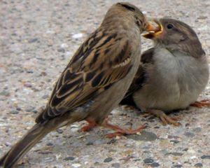 Co živí vrabce