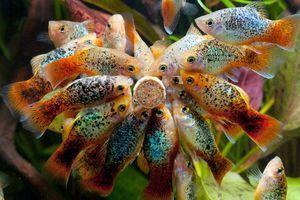 Obsah akvarijní ryby pecilia a její chov