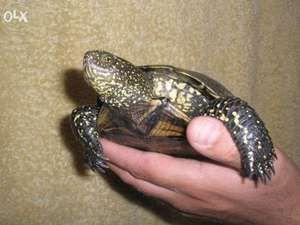 Obsah evropské močálné želvy doma