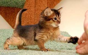 Somálská kočka: charakter a popis Somálska