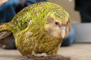 Sakpový papoušek kakapo a popis ptačích ptáků