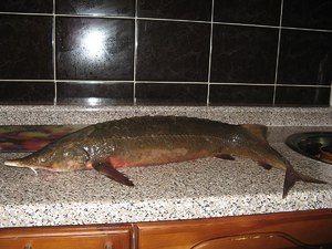 Typy a názvy červené ryby