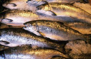 Názvy ryb z lososa