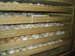 Doba použitelnosti vajec