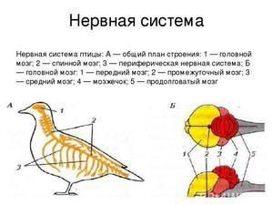 Struktura nervového a vylučovacího systému ptáků. Smyslové orgány