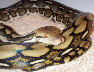 Dark Tiger Python: popis a rady ohledně obsahu