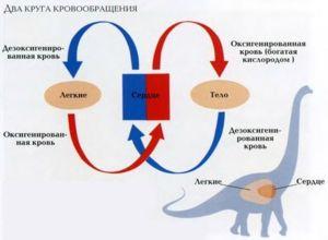Krevní oběh přispívá k zásobování orgánů a tkání kyslíkem