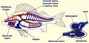 Oběhový systém ryb přijímá jedno atrium a komoru