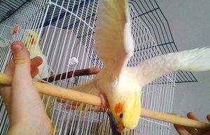 Jak vypadá papoušek Corail?