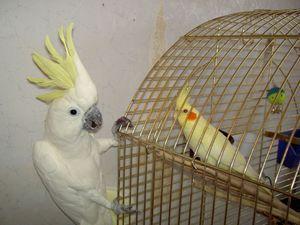 Vzhled papoušků Corelly