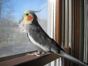 Co podávat papoušky Corelly