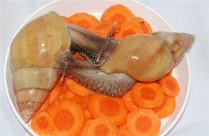 Správná výživa hlemýžďů ahatin