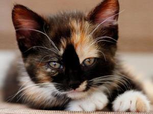 Tříbarevné kočky - co to jsou