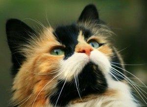 Kočky a kočky jsou tříbarevné - proč jsou kočky vzácné?