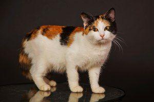 Korytnačka (tříbarevné) kočky - rysy barvy