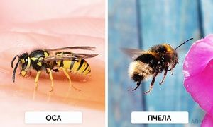 Jak můžete rozlišit vosí od včelstva