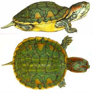Druhy a rysy pozemských želv