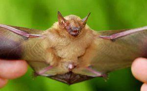 Kde žijí netopýři a co jedí?