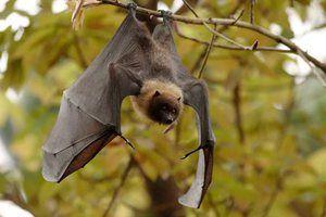 Co jíst netopýři