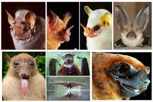 Hlavní druhy netopýrů