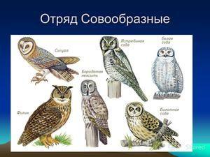 Druhy sov, jejich jména a rysy