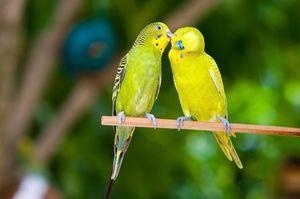 Jak podávat zvlněné papoušky