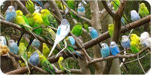 Jak se starat o zvlněný papoušek