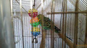 Životnost vlnitého papouška