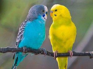 Vlnitý popis papouška