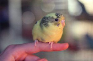 Kuřata zvlněného papouška