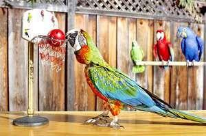 Schopnost papoušků mluvit