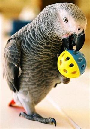 Šedavě mluvící papoušek