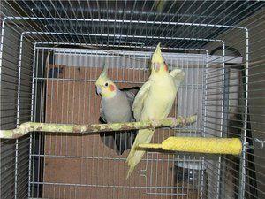 Papoušci s chomáčkem