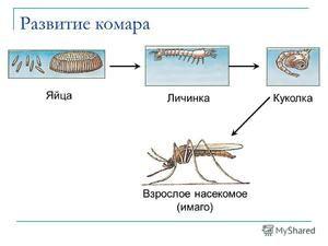 Larvy komárů