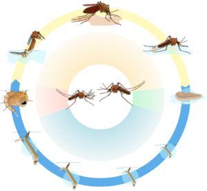 Jak rozpoznat ženský a mužský komár