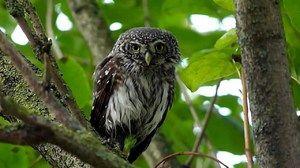 Owl Passerine