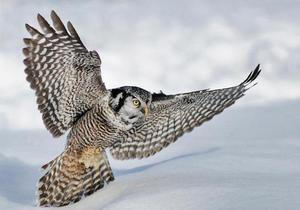 Owl Hawk