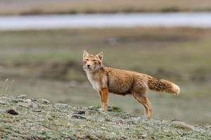 Tajemný a úžasný dravec - tibetská liška